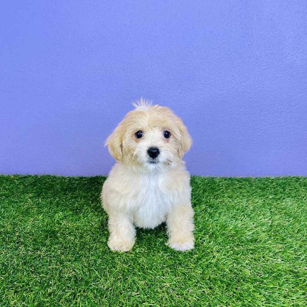 Female TeddiPoo Puppy for sale
