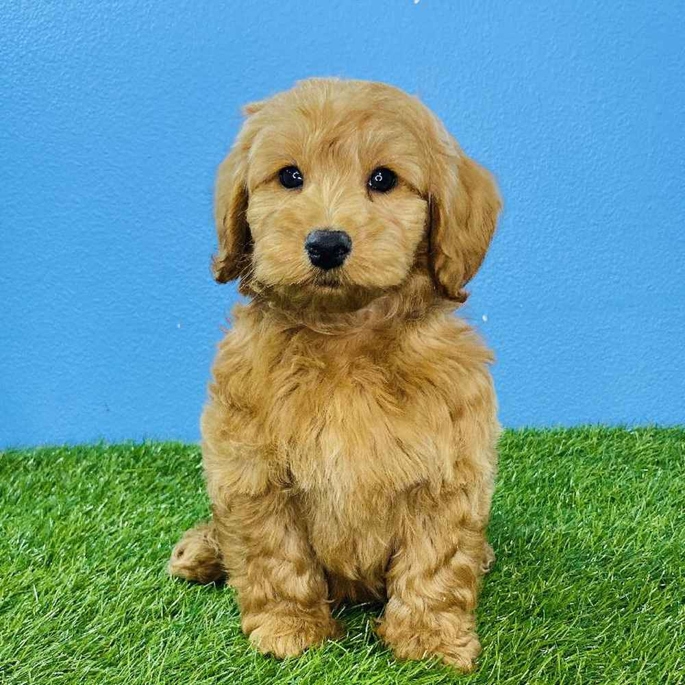 Male 2nd Gen Mini Goldendoodle Puppy for sale